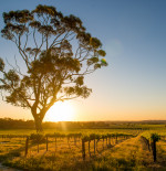Spotlight on: Barossa Valley wines